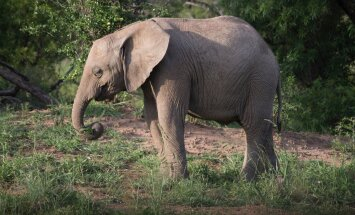 ARMAS VIDEO: Elevandid tõttavad tervitama päästetud elevandibeebit
