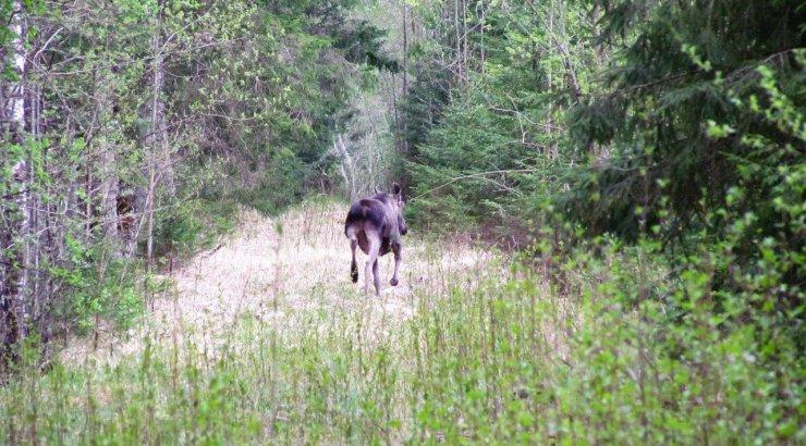 Leili metsalood | Põder teeb pahanduse ära ja laseb siis jalga