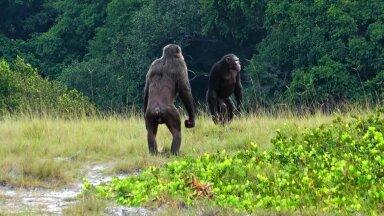 Loango rahvuspargis elava Rekambo kogukonna šimpansid (foto: Lara M. Southern, Loango Chimpanzee Project)
