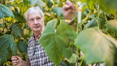 Grüne Fee Eesti juht Raivo Külasepp näitab kurgitaimel olevat bioloogilise tõrje vahendit.