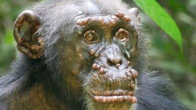 Leeprasse haigestunud šimpans