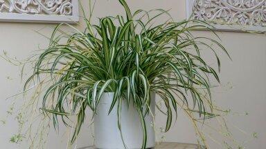 Tups-rohtliilia. Fotod on tehtud aianduskeskuses Hortes.