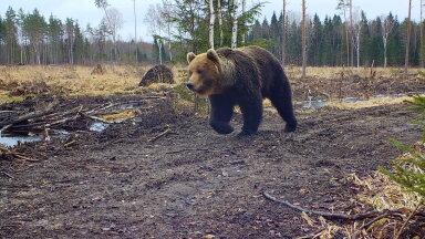 Rajakaamerasse jalutav karu