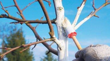 Noore viljapuu tüve valgendamine.