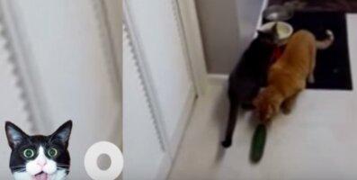 Humoorikas VIDEO: Kassid vs värske kurk! Vaata, kui naljakalt reageerivad kassid, kui nad kurki näevad