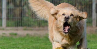 Asjad, mis võivad sinu kodus juhtuda, kui lased koeral juhtimise üle võtta