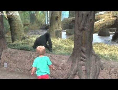 BEEBIVIDEO: mis juhtub, kui gorilla ja beebi kohtuvad?