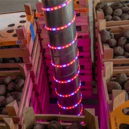 LED-taimevalgustite ribad mõjutavad idude kasvu mugulatel.