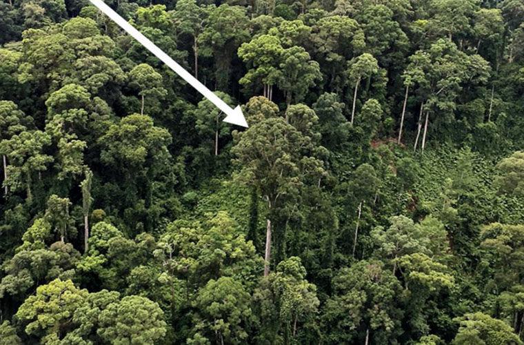 Найдено самое высокое наЗемле тропическое дерево