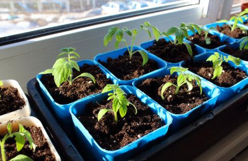Põhjused, miks taimede ettekasvatus lisavalgust kasutades alati paremini õnnestub