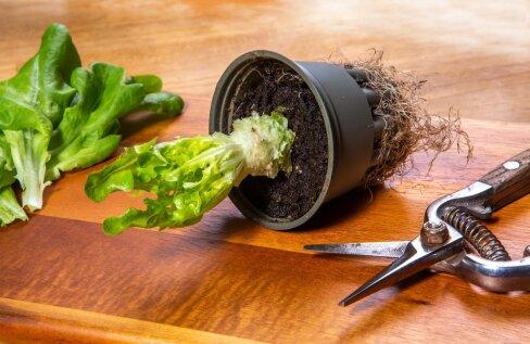 Peaaegu lehetuks söödud salatitaime võid edasi kasvatamiseks kasvuhoonesse istutada.