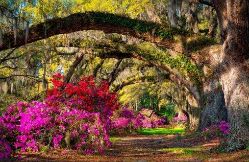 Värviplahvatus varjuaias – rododendronid.