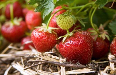 Kasutage maasikapeenral peenravaipa või mingit kuiva materjali multšina, siis püsivad marjad terved ja puhtad.