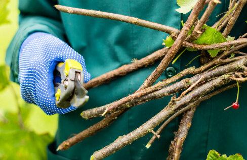 NIPID JA NÕUANDED | Kuidas lõigata kevadel sõstra- ja karusmarjapõõsaid