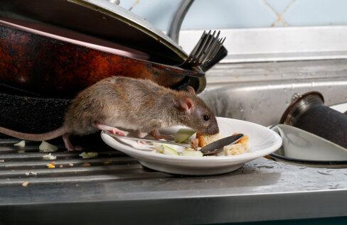 Koroonapandeemiast tingitud restoranide sulgemine on toidujäätmeid järsult vähendanud ja muutnud hiired ning rotid agressiivsemaks
