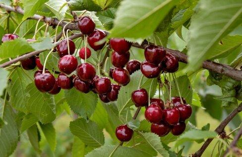 AUS TEST | Kuidas maitsevad kodumaised murelid? Millist sorti tasub aeda istutada?