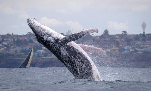 ФОТО и ВИДЕО | Горбатые киты устроили невероятное представление у берегов Сиднея