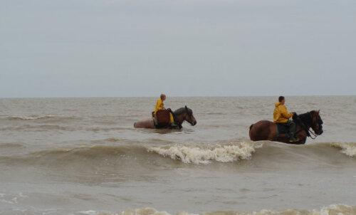 В Бельгии туристам предложат половить креветок на лошадях