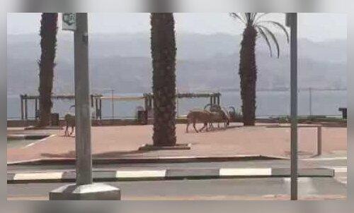 ВИДЕО   По курортному Эйлату вместо туристов начали гулять горные козлы