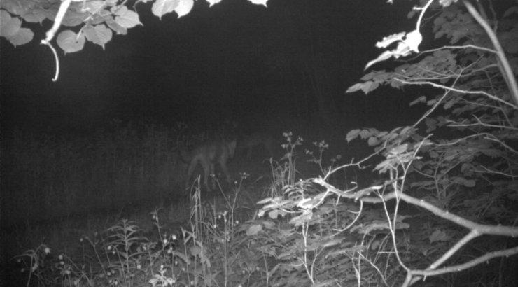 Keskkonnaagentuur: Sindi paisust päästetud hundi osas on kahetsusväärselt kokku sattunud faktid ja hinnangud
