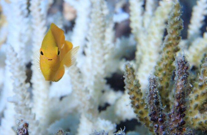 Suure Vallrahu pleekinud korall, kalake ja terve korall