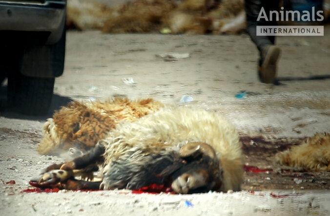 Loomade eestkostjad: kariloomi koheldakse pikamaatranspordil julmalt