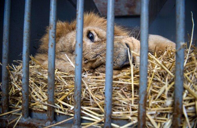 India loogika: kohus mõistis inimsööja lõvi eluks ajaks trellide taha