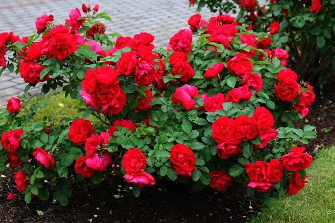 1591288f7d0 Eesti asub rooside kasvatamise põhjapiiril. Vali vastupidav sort!