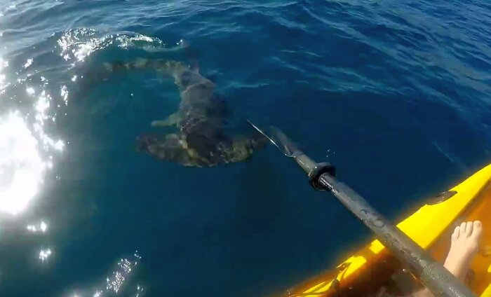 VIDEO: pealetükkiv vasarhai kimbutab merel olevat kajakiga kalameest