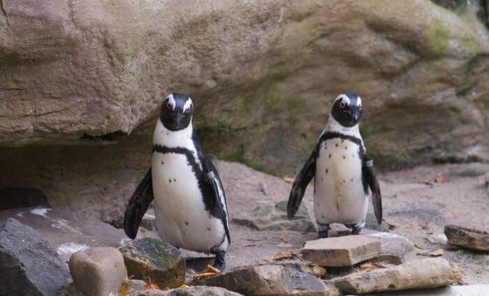 Удивительное рядом: в зоопарке Нидерландов пингвины-геи украли у гетеросексуальной пары яйцо