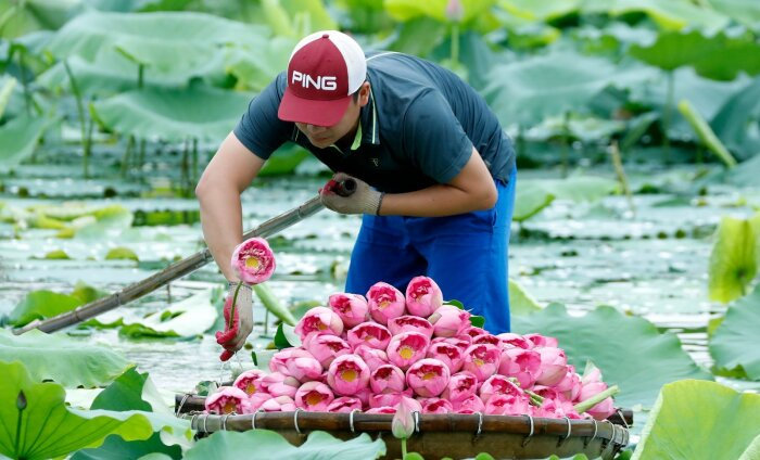 ФОТО | Завораживающая красота: как собирают лотосы во Вьетнаме