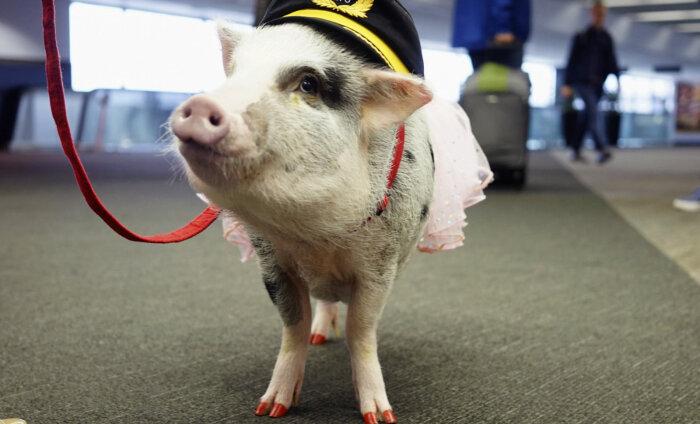 ФОТО: Пассажиров в аэропорту Сан-Франциско успокаивает свинья