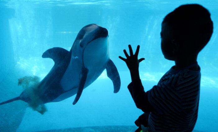 ВИДЕО | В аквариуме Китая появился первый робот-дельфин. По внешнему виду его невозможно отличить от настоящего