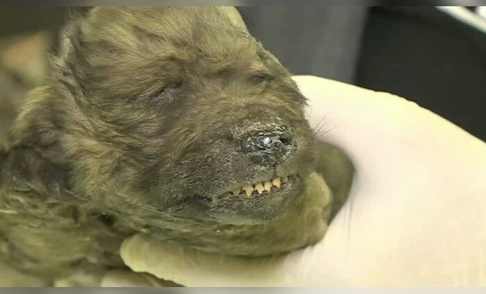 ВИДЕО: Мумия древнего зверя поразила ученых. В России найден щенок неизвестного вида