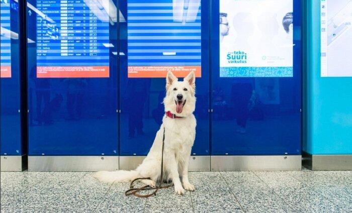 ФОТО   В аэропорту Хельсинки собаки будут искать COVID-19