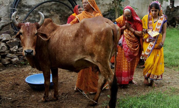 В Индии придумали, как спасти диких коров. Теперь их можно взять в аренду через сайт и мобильное приложение