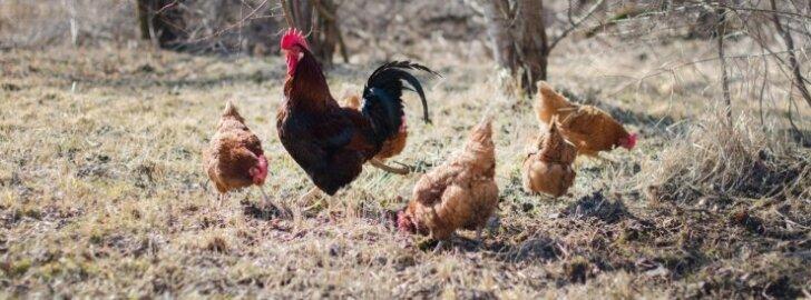 Soojal ajal püüavad kanad ise putukaid ja siblivad vihmaussikesi ning söövad muru. Munad on ilusad kollased ja kanad äärmiseltrahul oma eluga.