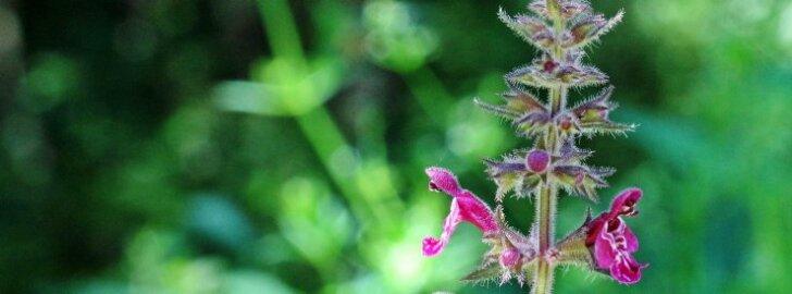 Peenete ilutaimede asemel istuta aeda tervendavate omadustega metsataimi