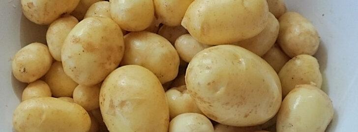 Maitsvad kartulid oma peenramaalt