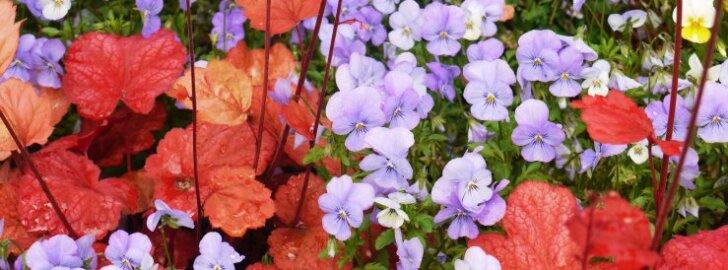 Helmikpöörised toovad aeda värvid. Vaata, kuidas neid õigesti kasvatada!