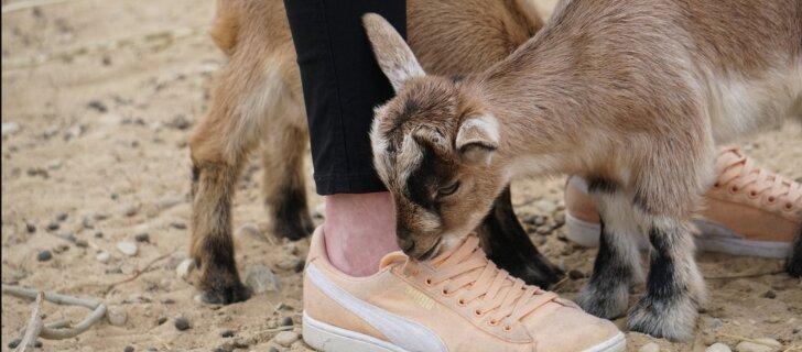 FOTOD: Tallinna loomaaias hullavad imearmsad kitsetalled
