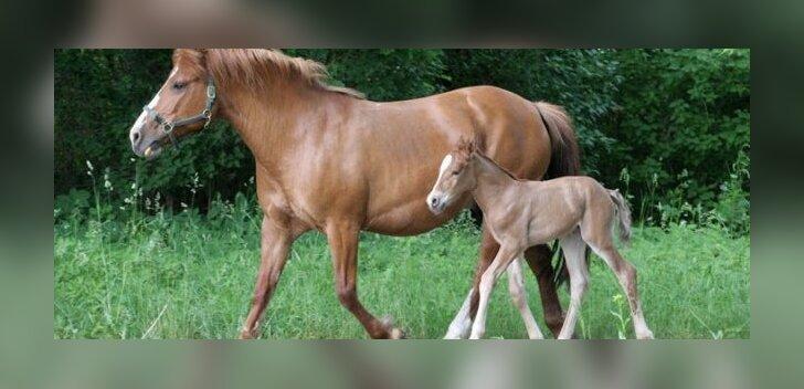 Eesti hobusel on juubeliaasta