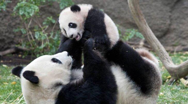 В Китае создадут первый в мире туристический маршрут для любителей панд