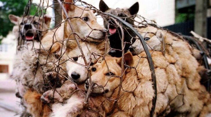 Hiina plaanib kurikuulsal Yulini festivalil koeraliha müümise keelustada