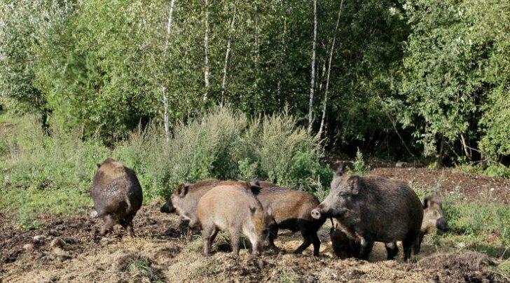 Viljandimaalt leiti veel kolm surnud Aafrika katku kahtlusega metssiga