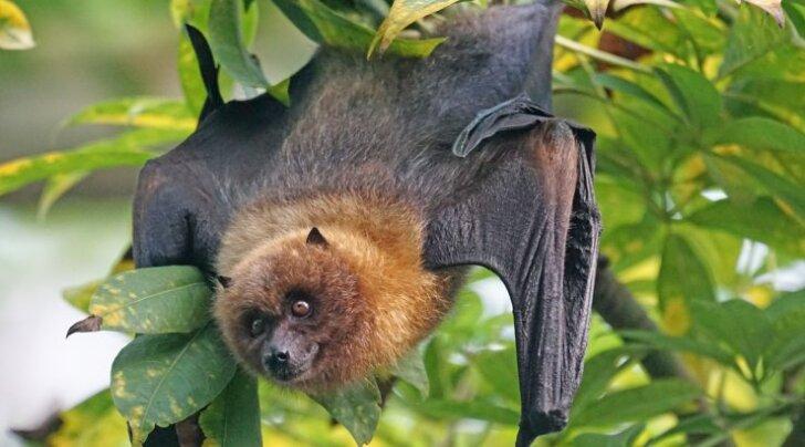 Enneolematu vaatepilt: Austraaliat tabanud kuumalaines kõrbes elusalt šokeeriv hulk nahkhiiri