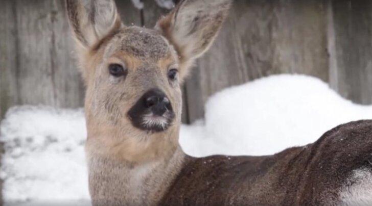 VIDEO: Perekond võttis lemmikloomaks ebatavalise metslooma, kui loomaaed ja looduskaitsjad temast keeldusid