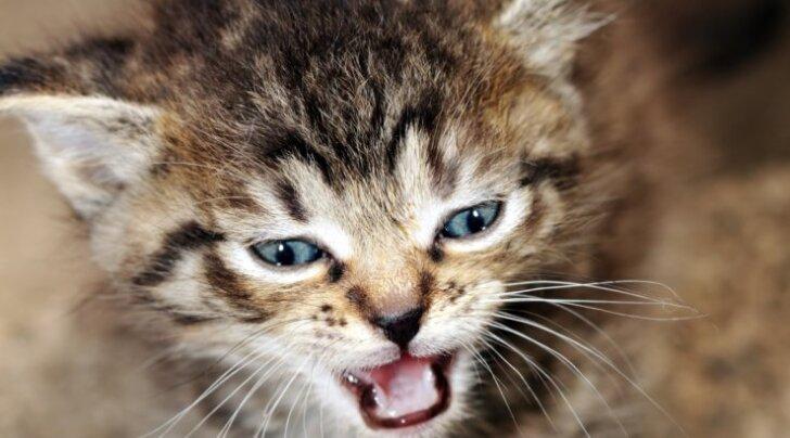 10 punkti: miks minu kass nii palju kräunub?