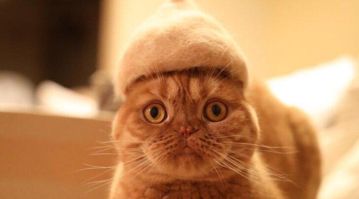 ФОТО: Японец сделал своим кошкам шапочки из их собственной шерсти