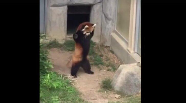 """VIDEO: Panda reaktsioon teele sattunud """"ootamatu"""" takistuse peale on hindamatu"""